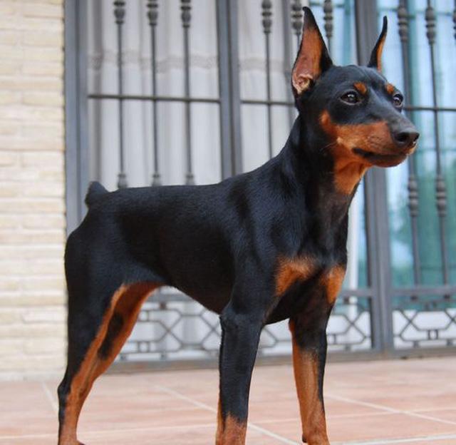 Собака породы пинчер
